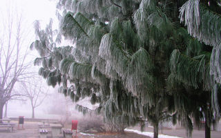 Cосна гималайская (рinus wallichiana): описание и фото, зимостойкость дерева, посадка и уход в домашних условиях, использование в ландшафтном дизайне