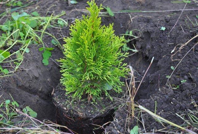 Грунт для туи при посадке: какую землю любит это растение, кислую или щелочную, какая почва нужна и как её подготовить