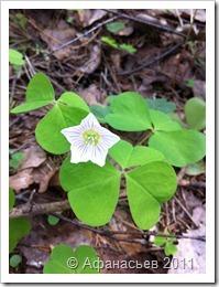Что можно посадить под сосной на даче, какие цветы хорошо растут вокруг хвойной культуры